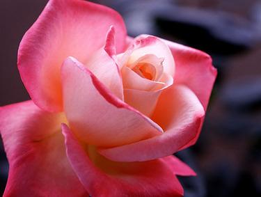 Rose211